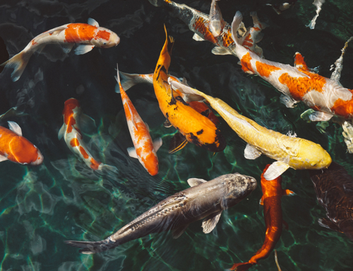 How to Choose a Great Design for Your Koi Fish Pond